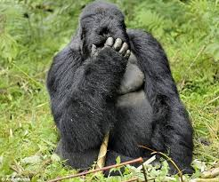 gorilla facepalm